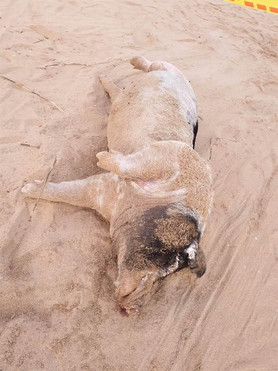 漂自對岸的死豬重約80公斤,檢驗結果證實基因片段序列與中國大陸非洲豬瘟病毒株基因片段相似度達100%。(金門縣防疫所提供/李金生金門傳真)