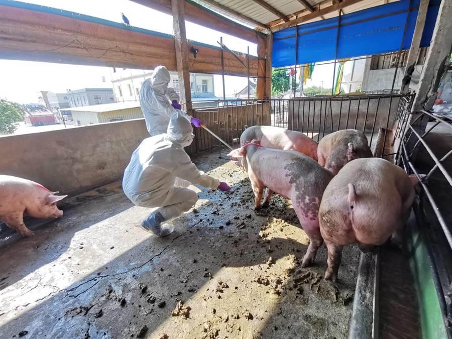 縣防疫所已對全鄉8家豬場進行全面訪視,每場採取20頭次血液送樣監測,未發現異常情形。(金門縣防疫所提供/李金生金門傳真)