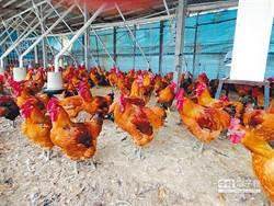 美中貿易戰落幕 有「雞」會