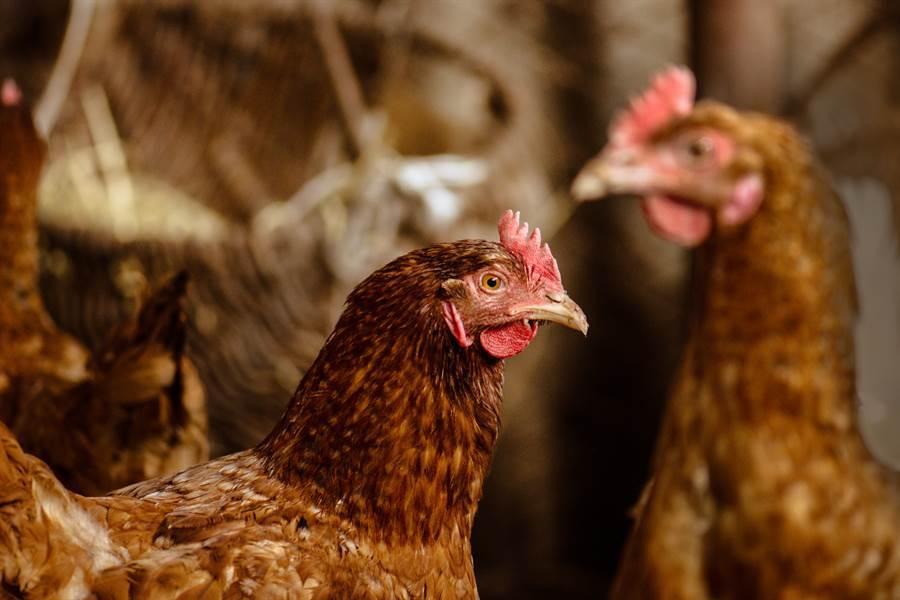 母雞4年不下蛋被宰 剖開驚見珍寶(示意圖/達志影像)