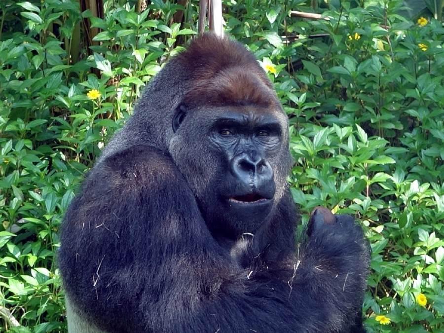 動物園的單身漢金剛猩猩「迪亞哥」,終於不用再羨慕遠赴荷蘭的「寶寶」,擁有眾多美女相伴。(台北市立動物園提供)