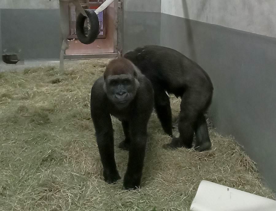 兩隻來自荷蘭Apenheul Primate Park(靈長類公園)的雌性金剛猩猩,順利來到台北市立動物園。(台北市立動物園提供)