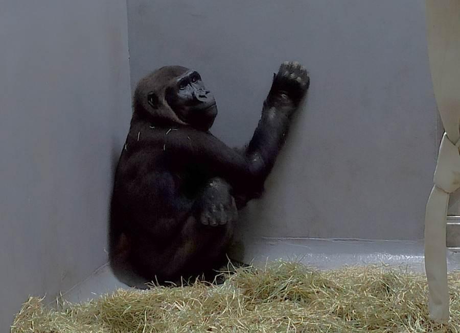 經過長達14個小時的飛行後,平安抵達台北市立動物園,接受為期一個月的檢疫。(台北市立動物園提供)