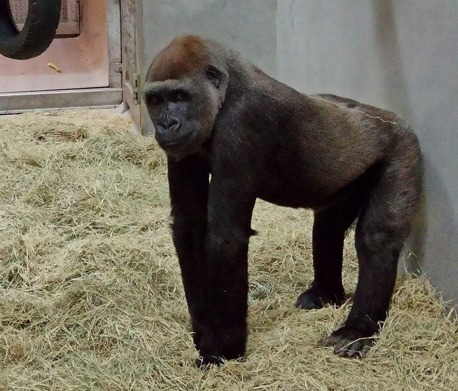 兩隻母金剛猩猩同為2011年出生。(台北市立動物園提供)