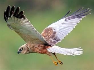 恆春半島3種新鳥種 月底開會可望列台灣紀錄