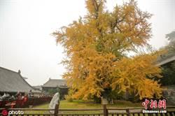 西安古寺千年銀杏樹日限三千人 天天爆滿