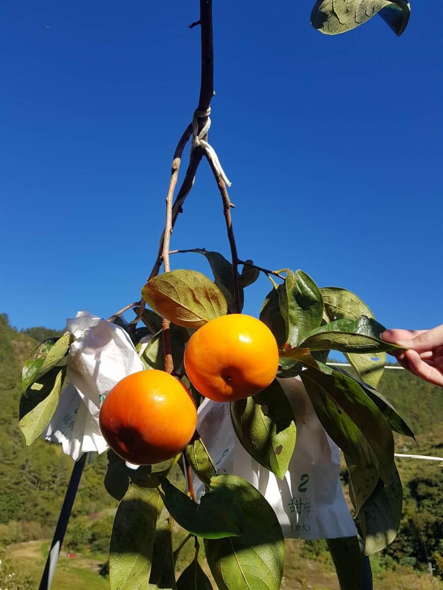 梨山柿子澄黃採收的季節。(圖/洪勝雄提供)