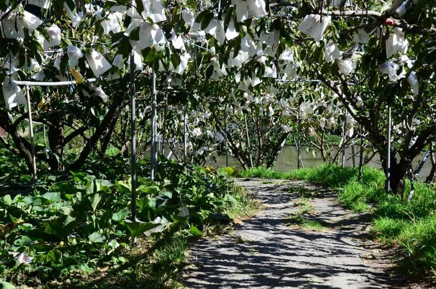 秋天甜柿成熟時,滿山遍野白色的套袋掛在樹上,有著另一種點點秋雪的風情。(圖/洪勝雄提供)