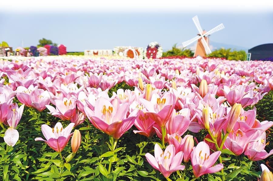 中社觀光花市為期半年的百合花季正式起跑,自荷蘭引進的50個品種百合花,總計20萬球將競艷到明年5月。(王文吉攝)