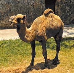 壽山動物園 駱駝生態大揭祕