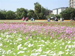 花都開好了 想看波斯菊、向日葵花海快來中壢