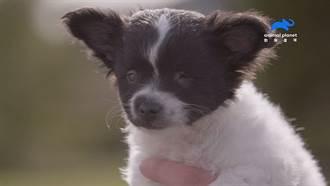 見證愛!動物救星助迷你盲犬 重覓溫暖家庭
