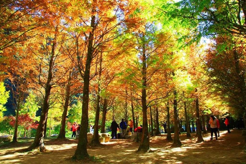 南投杉林溪黃金水杉變色期,在暖暖陽光下照耀下,更顯繽紛燦爛。(圖取自 愛上杉林溪 Facebook)