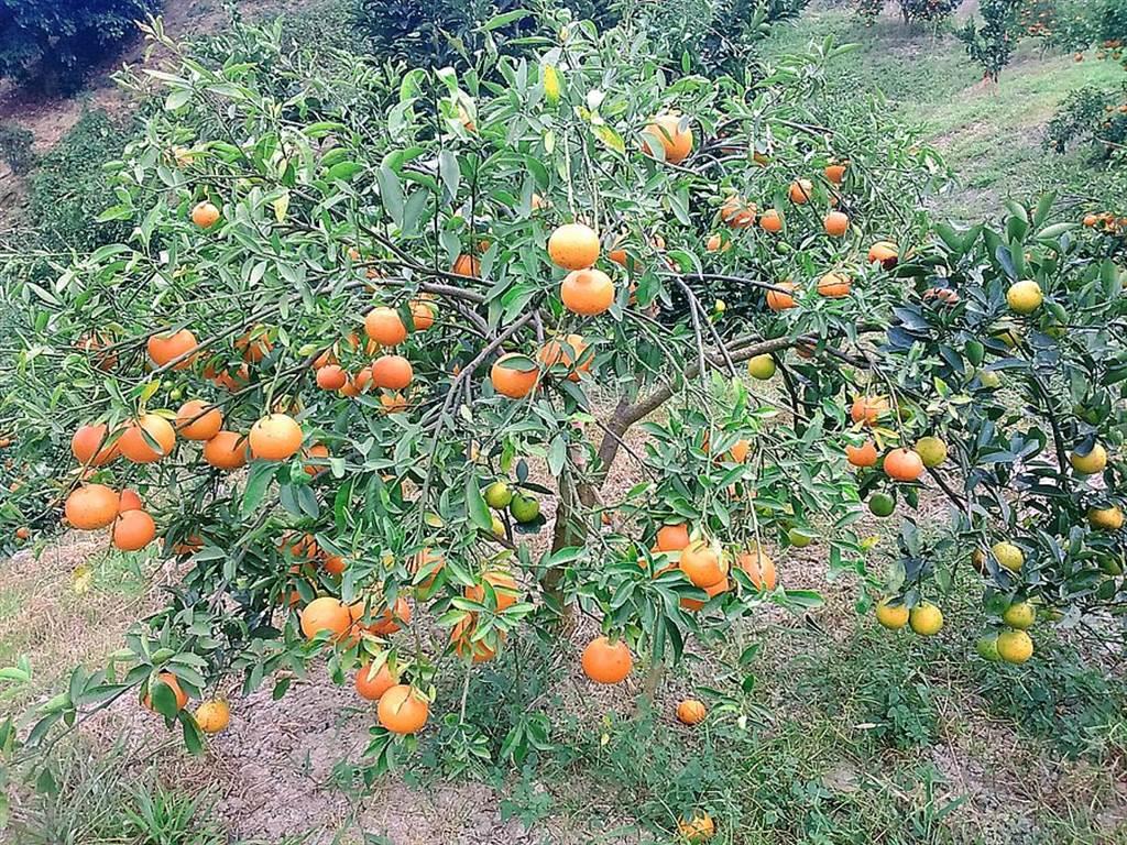 「曜曜農場」種植各式水果!每到秋冬,農場裡佛利蒙柑結實纍纍。