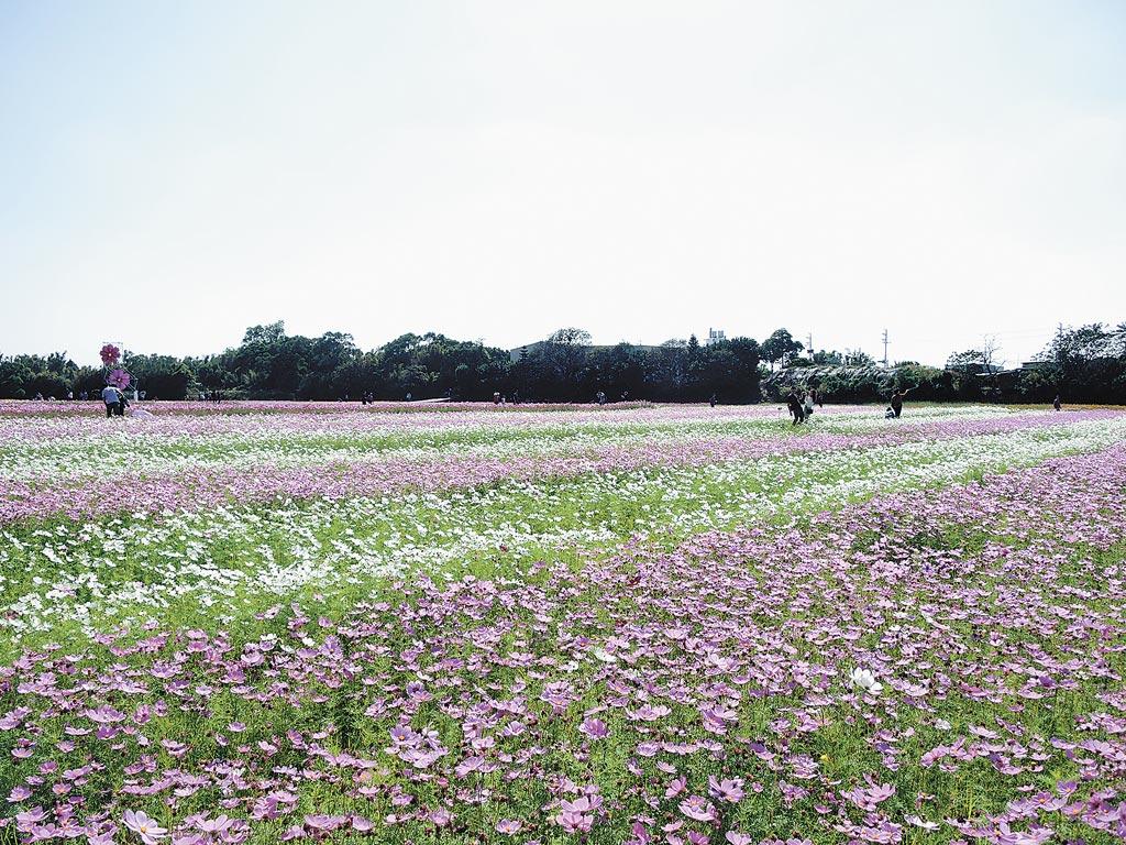 桃園花彩節中壢展區花海面積11公頃,預計花期有半個月。(邱立雅攝)