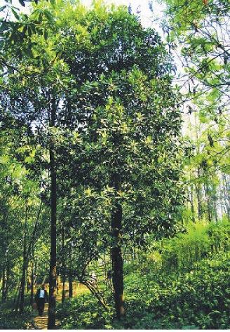 昆明植物園的華蓋木首次開花。(取自中科院昆明植物研究所官網)