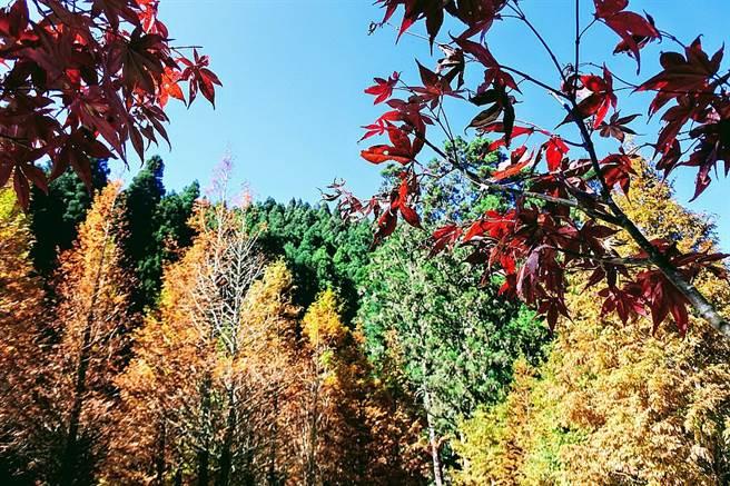 南投杉林溪黃金水杉變色、加上楓紅,在暖暖陽光下照耀下,更顯繽紛燦爛。
