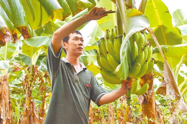 近來香蕉價跌,農委會將收購次級品穩定蕉價,但產地價格高於收購監控價不少,受到質疑。(本報資料照片)