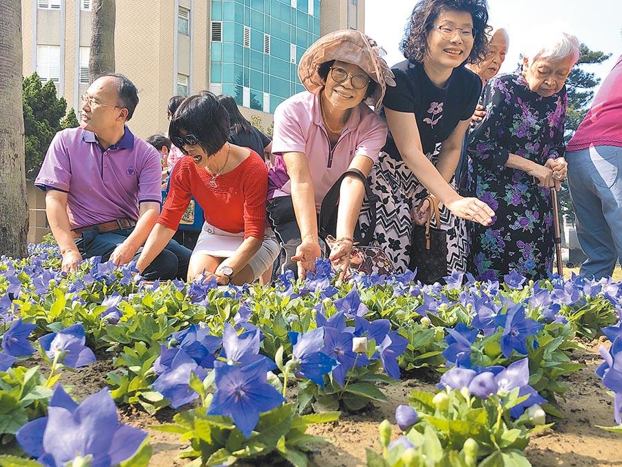 台南女中校花是紫色桔梗花,校友們昨天攜手復育紫色桔梗花,讓校花重新在校園綻放。(曹婷婷攝)