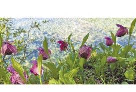 人工培育的西藏杓蘭。(新華社資料照片)