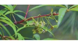 五小葉槭。(取自微信@中國綠發會)