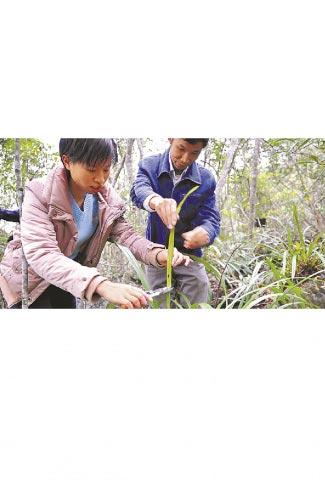自然保護區裡的人員對受損的野生蘭花進行養護。(新華社資料照片)