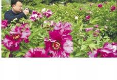 北京植物園中的紫斑牡丹。(中新社資料照片)