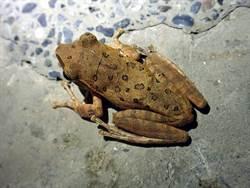 解決入侵外來物種!動物園將「斑腿樹蛙」納入菜單