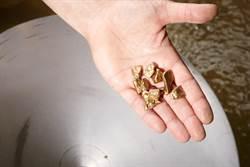 男河邊拾獲金飾 鑑定竟是千年文物