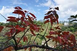 公老坪柿林轉色 滿山紅葉媲美楓紅