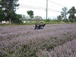 紫色花海仙草饗宴 20日網路開搶