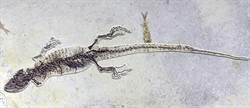 化石新發現:一億年前的蜥蜴也愛吃「小龍蝦」?!