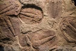 挖億年前蜥蜴化石 胃中景象眾人驚