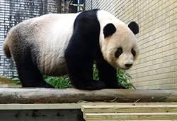 貓熊「團團」中年危機?近來頻做「仰臥起坐」要減肥