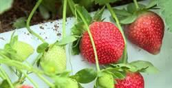 大湖草莓1期花結果 雙12草莓季盛大開園