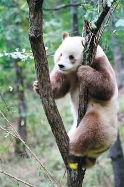 全球唯一圈養棕色大熊貓被終身認養
