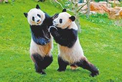 搶當熊貓小姐姐 哥哥也來湊熱鬧