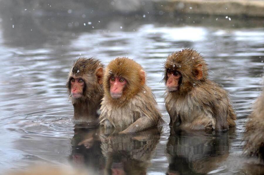 長野縣_地獄谷雪猴公園_泡溫泉的雪猴。(TripAdvisor 提供)