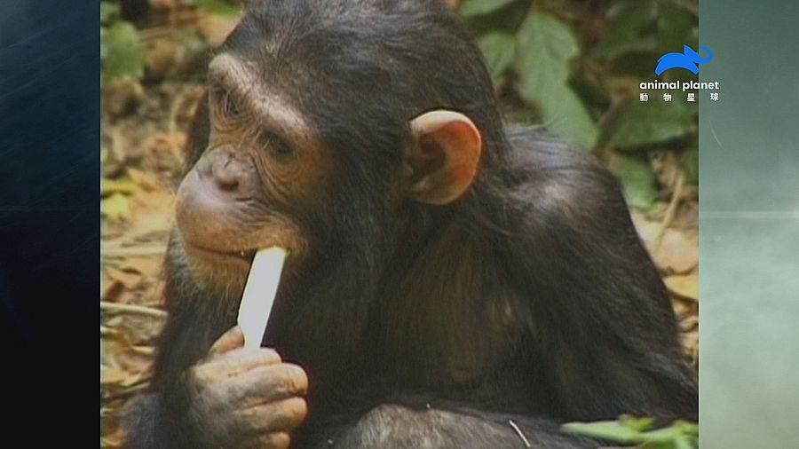 占吉巴島上的紅疣猴吃木炭舒緩腸胃不適。(動物星球頻道 提供)