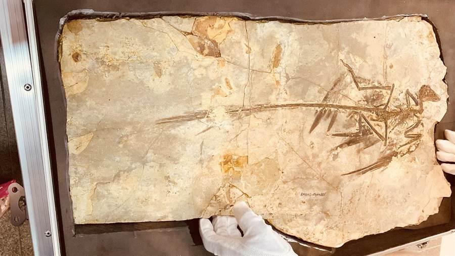 「顧氏小盜龍」化石於2010年發現,保存相當完整,是恐龍演化到飛行鳥類的歷程實證。(陳淑芬攝)