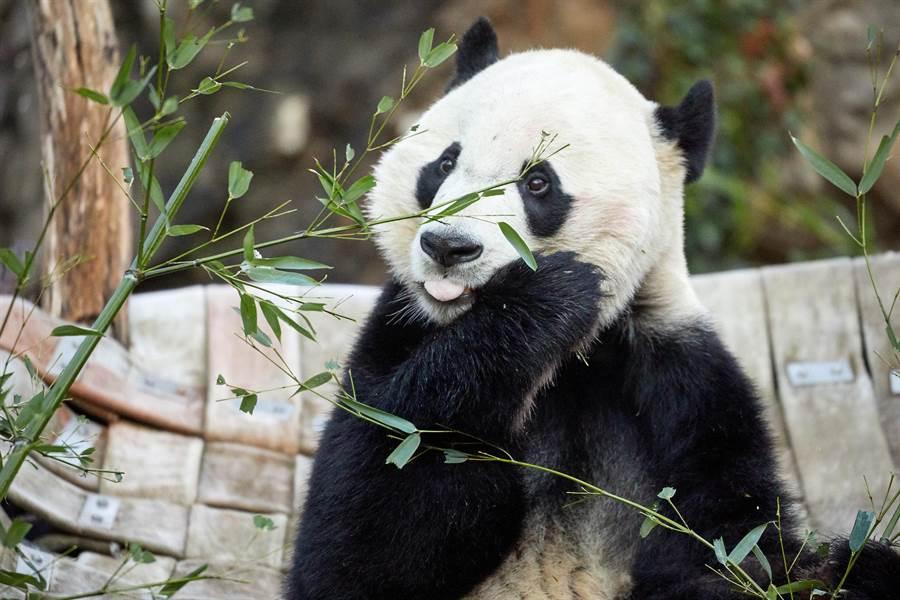 在搭乘「FedEx熊貓快遞號」之前,「貝貝」正在享用他的食物。圖:業者提供