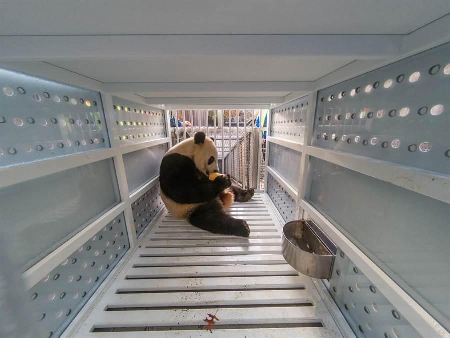 在離開美國史密森尼國家動物園前往中國之前,大熊貓「貝貝」在運輸籠子內享用水果。圖:業者提供