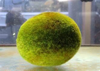 毬藻「開箱文」!SPA、日光浴都要做 才能越滾越可愛