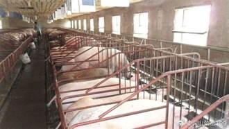 大陸官方稱生豬養殖量逐漸回升 產能下滑趨緩