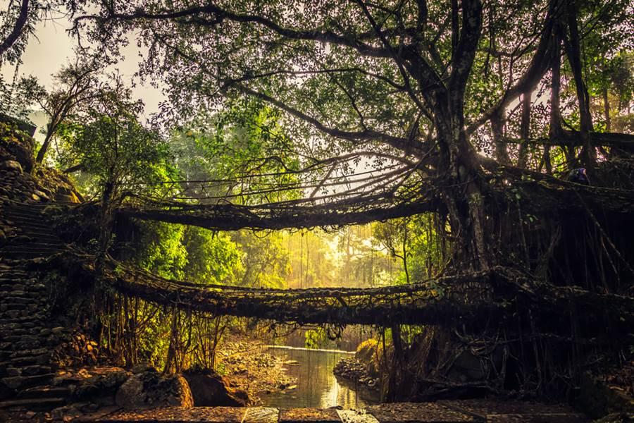 印度東北部梅加拉雅省(Meghalaya)山區盛行的「樹橋」不僅會自行生長,還愈長愈壯, 專家甚至直接稱他為Living bridge,意謂「活生生的橋」,連建築師都驚呼是「工程奇觀」。(圖/shutterstock)