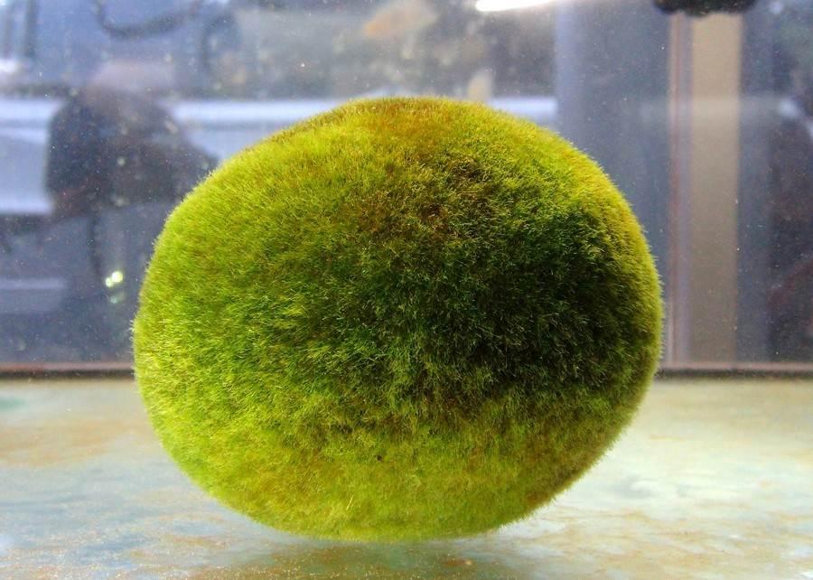 住在日本阿寒湖底的毬藻們,會隨著水波滾動。(台北市立動物園提供)