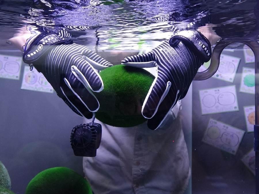保育員用指腹輕輕搓揉擦拭毬藻表面,就像在進行舒適的全身按摩。(台北市立動物園提供)