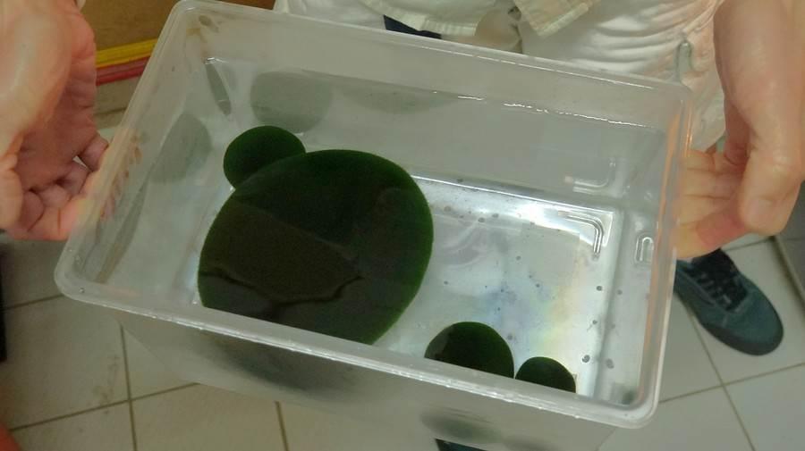 若發現毬藻需個別處理,保育員會使用小水族缸帶至後場進行特別照顧。(台北市立動物園提供)