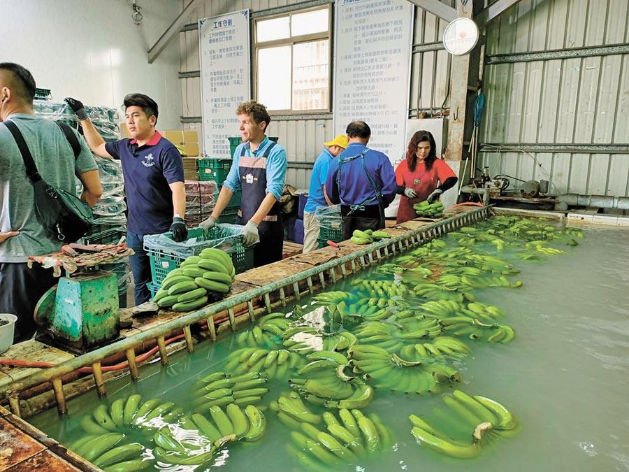 旗山果菜運銷合作社經理郭泰呈(左二)說,日本客戶喜愛台灣香蕉舊北蕉品種。 (林雅惠攝)