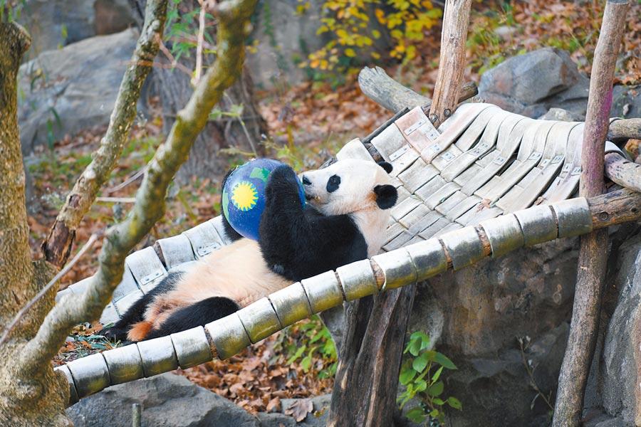 11月11日,美國華盛頓,大陸旅美大熊貓「貝貝」在美國國家動物園玩耍。(新華社)